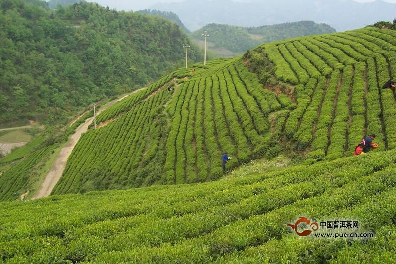 午子仙毫产地:陕西省西乡县南名山午子山