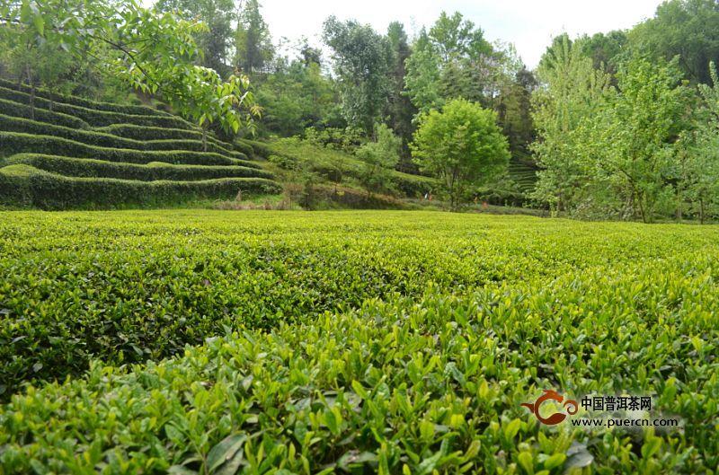 日照绿茶什么时间采摘