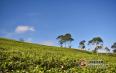 数据统计:2018中国茶产业出口36.5万吨,价量齐升!