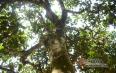 关于茶树的知识,你知道多少?