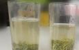 绿茶为什么会浑,到底是好还是不好?