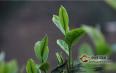 普洱茶投资分析:购买投资茶,最重要的是心态