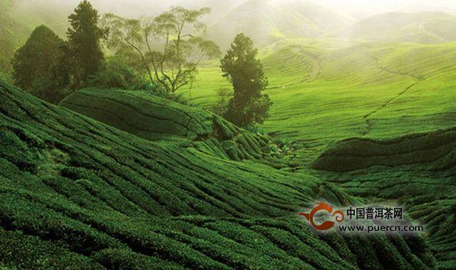 白茶的历史发展