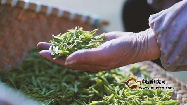 嵊州茶农自发买仪器:茶叶质量如何一测就知道