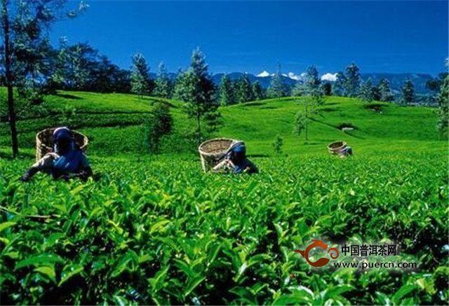 出口平稳向好进口潜力释放,茶叶贸易收获更大发展空间