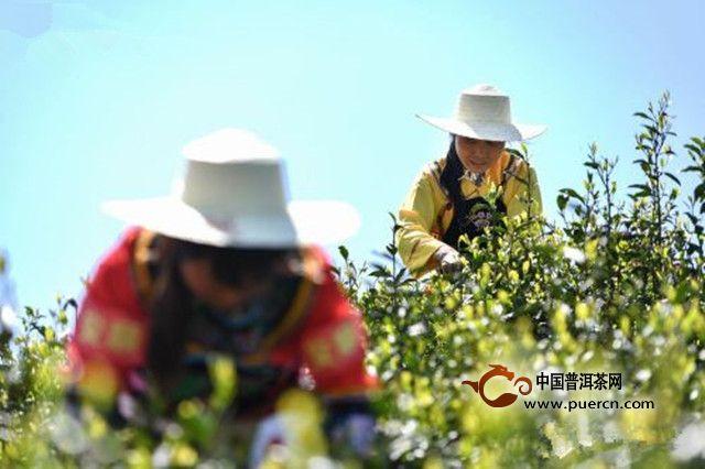 纪录片《黔茶》将于4月18日在中央电视台开播