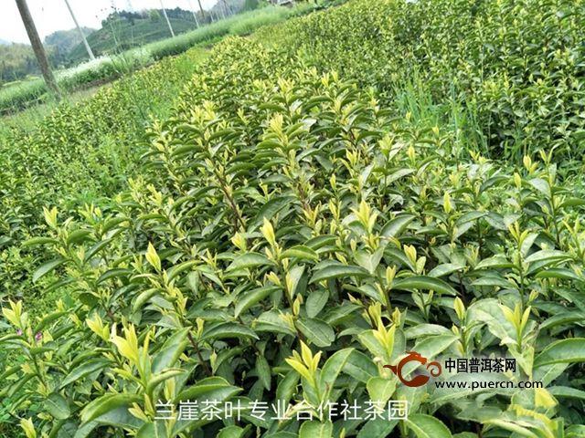 百姓喜爱的村支书缪术强 黄茶产业引领村民致富