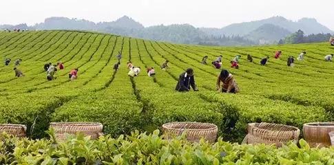 未来5年中国精制茶加工行业产量预测分析