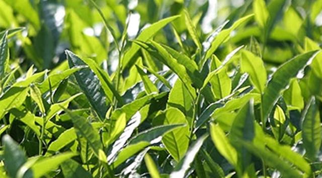 贡尖茶制作工艺流程