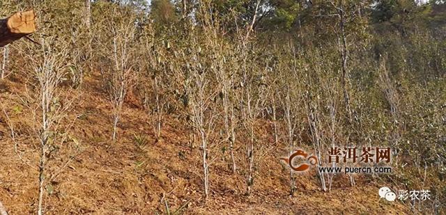 云南茶区百年难遇严重干旱,茶树防旱抗旱必备实用技术