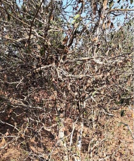 【图阅】云南部分茶区干旱导致茶树干枯