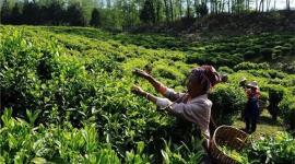 临沧市临翔区:茶产业成为拉祜族群众增收致富新引擎