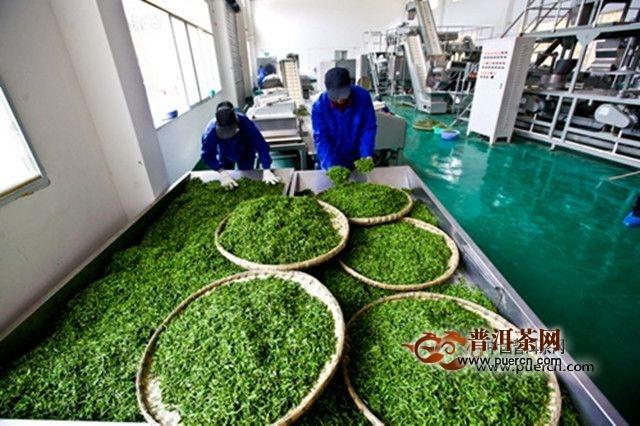 昭平银杉茶手工制作流程 - 茶叶制作过程_为您介绍_的