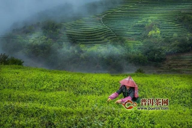 2019白茶市场走势预测