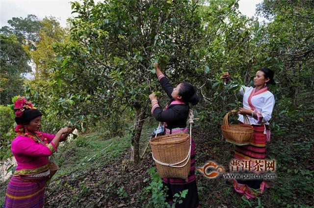 云南布朗山:茶香不怕林子深