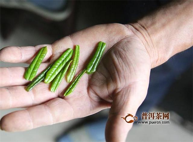 六安瓜片的茶树,特有的独山小叶种!