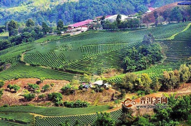缅甸红茶市场约85%被中国茶叶占领