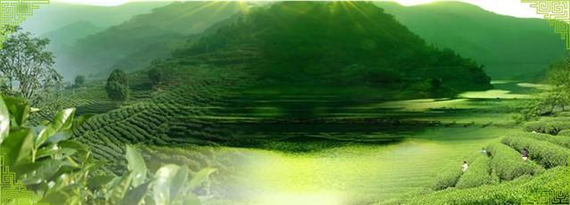 碧螺春茶树,本地群体小叶种茶叶品质最好!