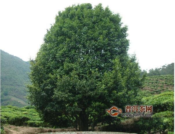 大理南涧:古茶树释放新动能