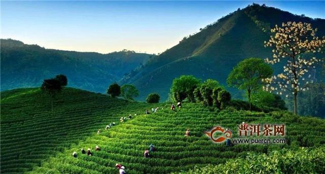 安吉白茶种植和管理