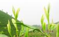 龙井绿茶怎么冲泡,掌握四个技巧即可冲泡!