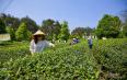 峨眉山茶属于什么茶