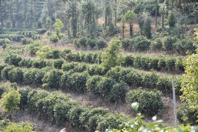 """云茶产业发展""""八抓""""工作的推进 将迎来新的发展阶段"""