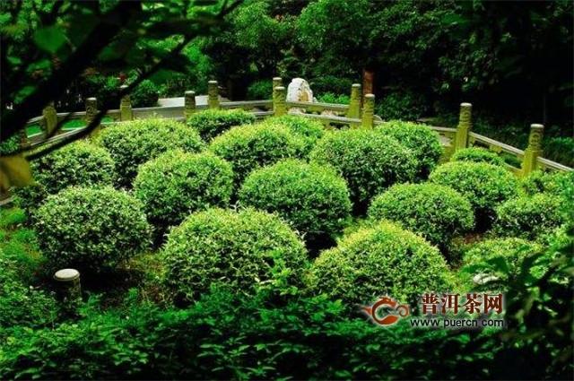 西湖龙井18棵御茶树的故事