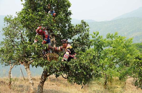 云南双江勐库古茶园 中国全球重要农业文化遗产预备名单榜上有
