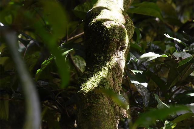 普洱开展古茶树资源保护条例实施1周年活动