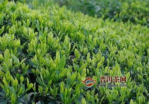 紫阳富硒茶的产地环境