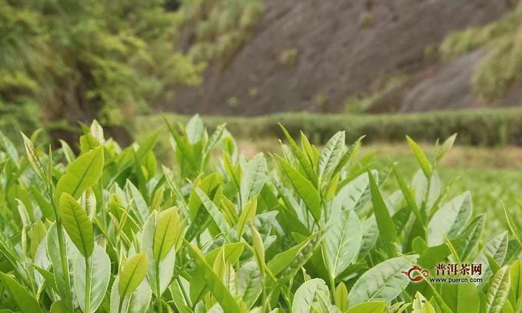 绿茶和铁观音是一种茶树吗