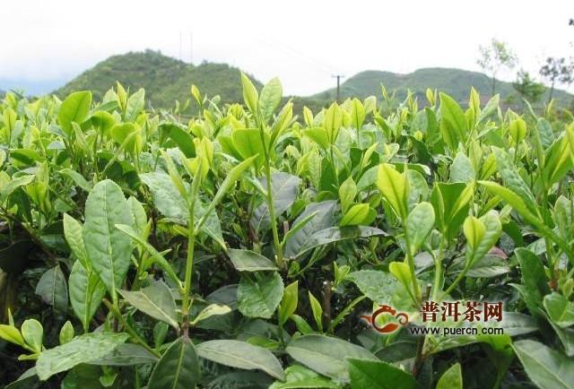 白茶不属于绿茶也不属于红茶