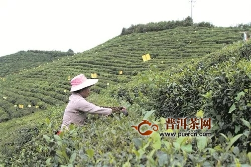 贵州都匀:一缕茶香引客来