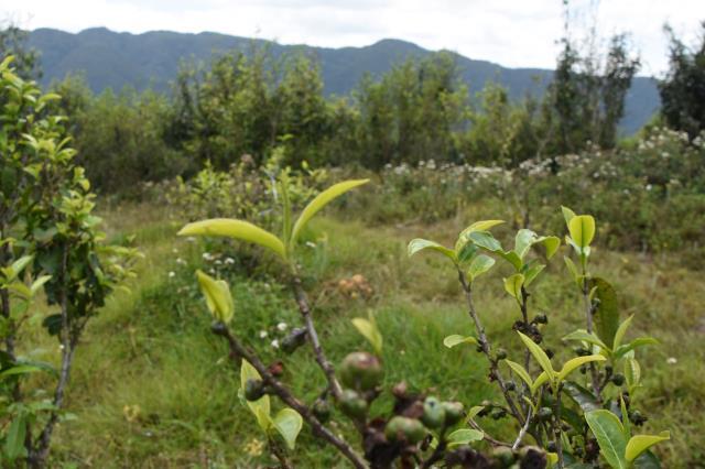 墨江哈尼族自治县 抓好茶叶和特色生物产业发展