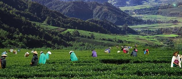 """腾冲市马站乡 小小茶树已成为脱贫致富的""""绿色银行"""""""