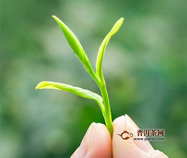 紫笋茶是红茶还是绿茶