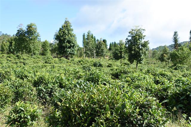 勐海县采取各种措施为茶产业发展