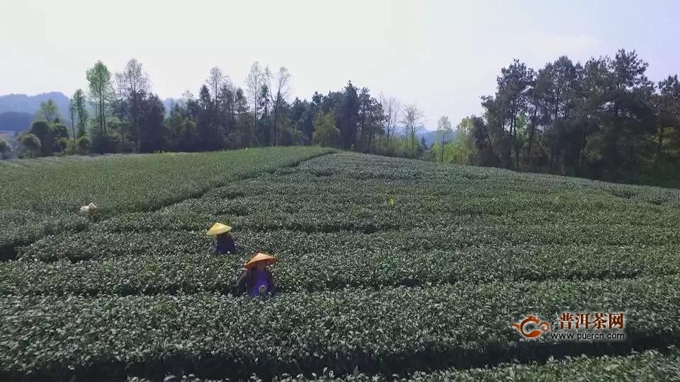 """湄潭:茶叶产业""""接二连三""""茶山变成""""金山银山"""""""