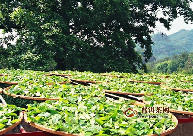 武夷岩茶大红袍制作工艺