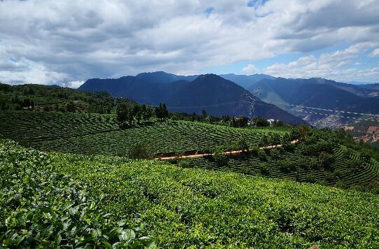云南省茶树杂交良种 推广速读快 效益显著