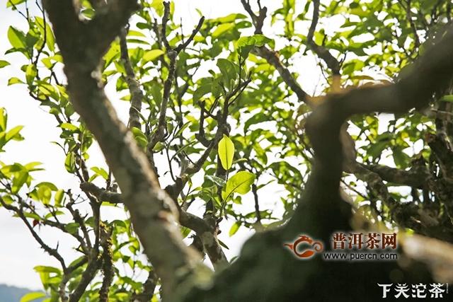 悠悠岁月,漫漫茶香——临沧茶区