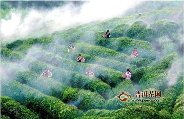 贵州都匀名茶历史,都匀毛尖的历史!