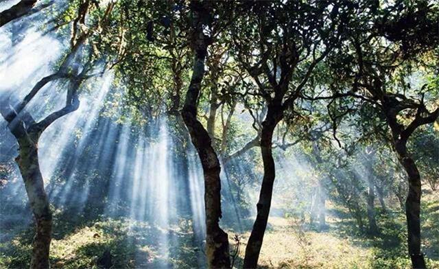 关于对景迈山古茶林保护区实施临时管控措施的通告