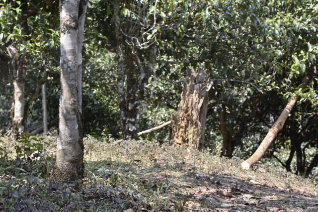 云南印发意见 全力保护古茶山古茶树资源