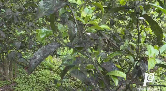 澜沧:为古茶树诊脉 为申遗保驾护航