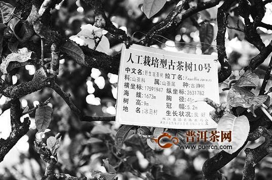 云南省古茶树建资源库:全面调查摸清 古茶山古茶树资源