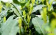 紫阳富硒茶的历史