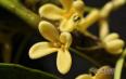 桂花蜂蜜的功效与作用及禁忌