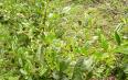 荷香茯砖茶与黑茶砖区别